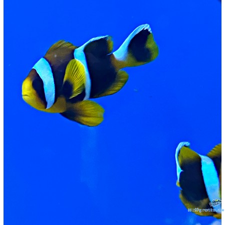 Amphiprion chrysogaster - Mauritius-Anemonenfisch