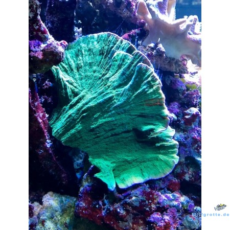 Montipora foliosa - Ultra Green Table
