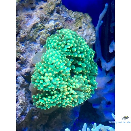 Entacmaea quadricolor Blasenanemone green spotted orange Color WYSIWYG 33