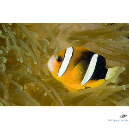 Amphiprion clarkii Coral Sea