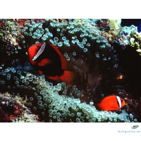 Anemonenfisch Amphiprion frenatus